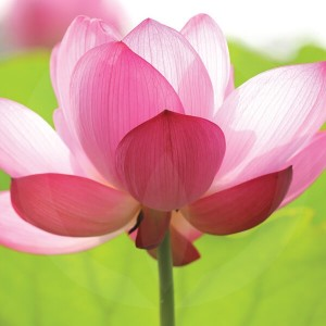 Camellia & Pink Lotus Candle Fragrance Oil