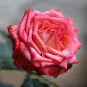 Bulgarian Rose Candle Fragrance Oil