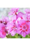 Rose Geranium & Bergamot Candle Fragrance Oil