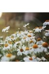 Daisy Fragrance Oil