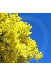 Golden Wattle Fragrance Oil