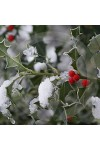Holly Berry Candle Fragrance Oil