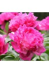 Pink Peony Fragrance Oil