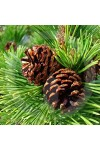 Scotch Pine Fragrance Oil