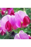 Sweet Pea and Vanilla Candle Fragrance Oil