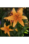 Tigerlily Blossom Fragrance Oil