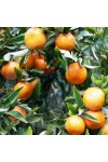 Tropical Tangerine Candle Fragrance Oil