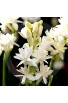 Tuberose Di Notte Type* Candle Fragrance Oil