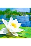 Waterlily Candle Fragrance Oil