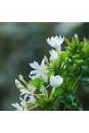 White Jasmine & Ivy Fragrance Oil