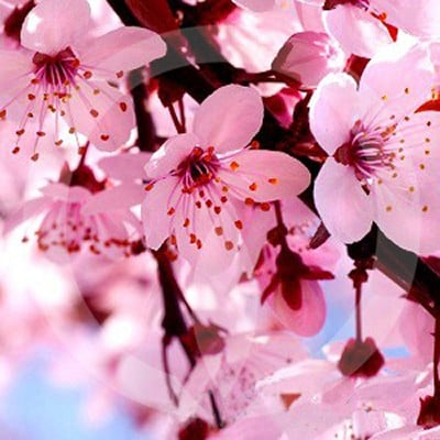 Cherry Blossom Candle Fragrance Oil