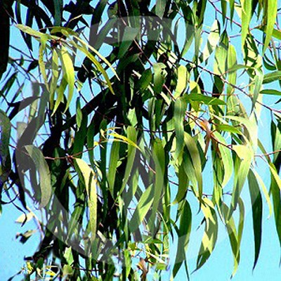 Eucalyptus Citriodora Fragrance Oil