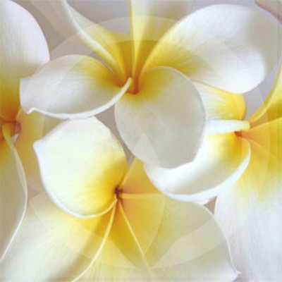 Frangipani Candle Fragrance Oil
