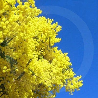 Golden Wattle Candle Fragrance Oil