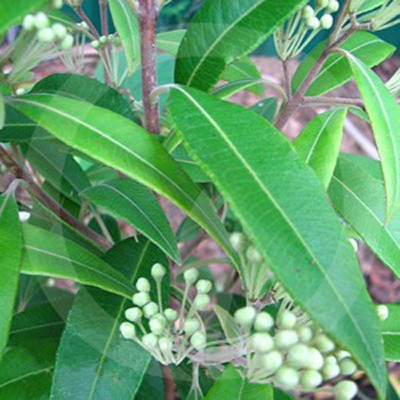 Lemon Myrtle Fragrance Oil