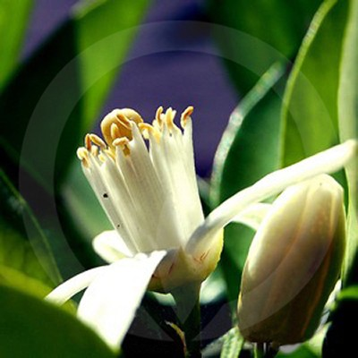 Fragrance Note Neroli