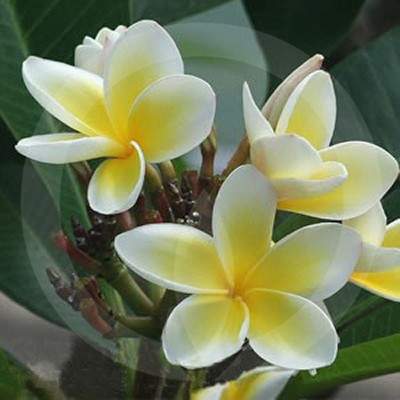 White Frangipani Fragrance Oil