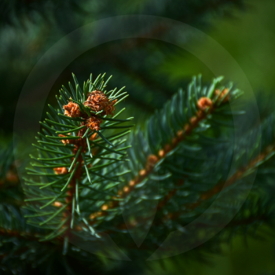 Fresh Pine & Fir Needle Fragrance Oil